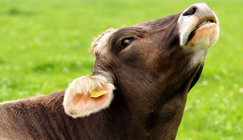 Brown cow eating grass during daytime