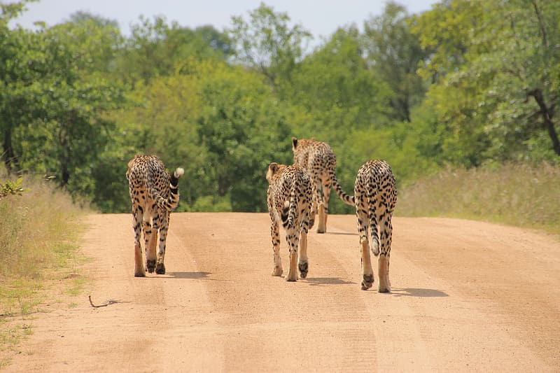 Four wild cats walking on road