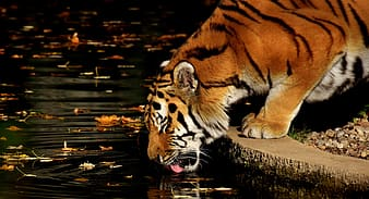 Tiger drinks on pond water