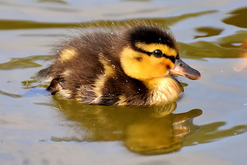Duckling swimming in body of water