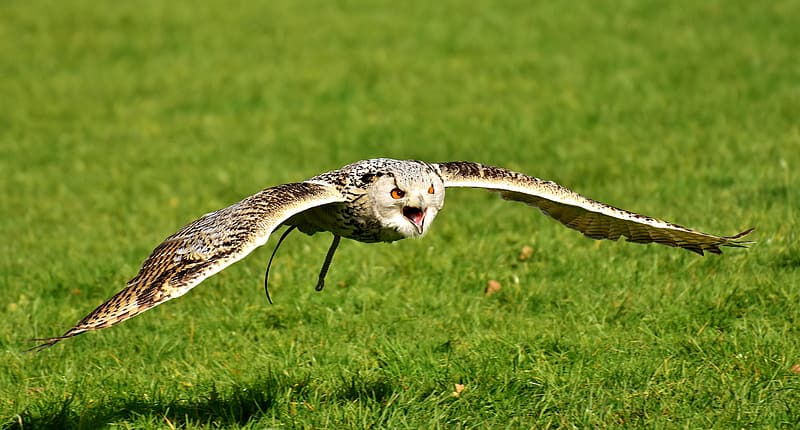 Selective focus photography of flying horned owl above green grass field