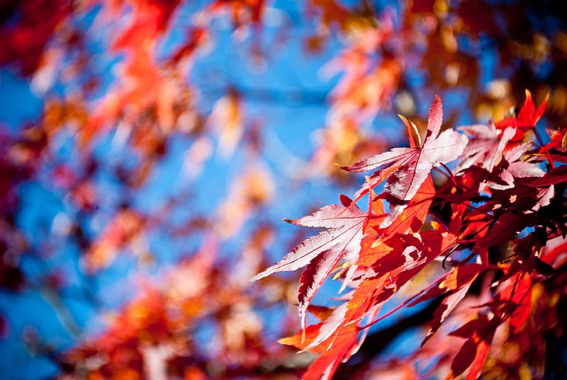 Selective focus photo of red maple leaves
