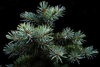 Green pine tree in closeup photography
