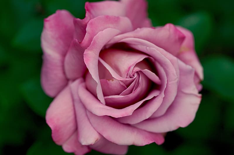 Macro shot of pink rose flowers