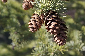 Selective focus photography of brown pine cone
