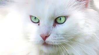 White cat with green eyes