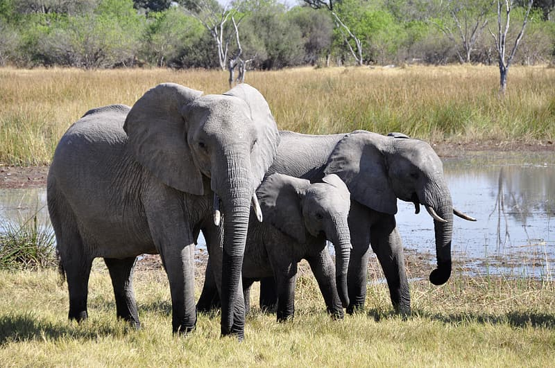 Three grey elephants walking beside body of water during daytime