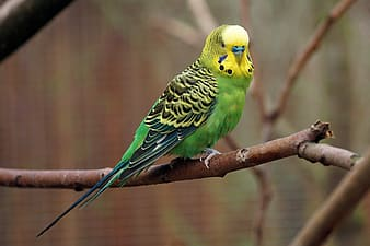 Green and yellow Budgerigar on tree branch