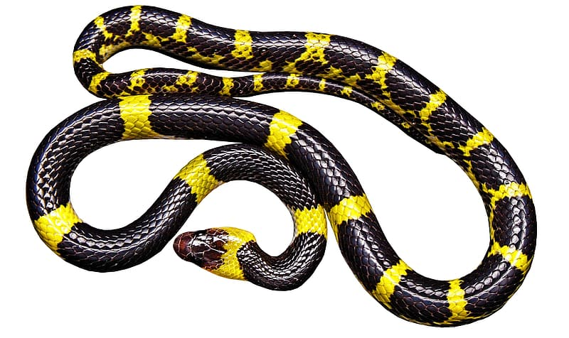 Yellow and black snake on white background