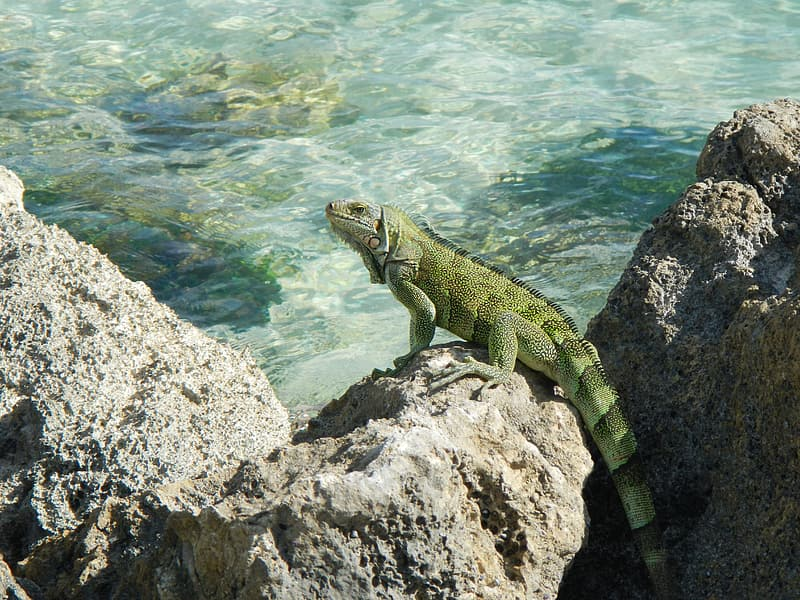 Green and brown lizard on gray rock