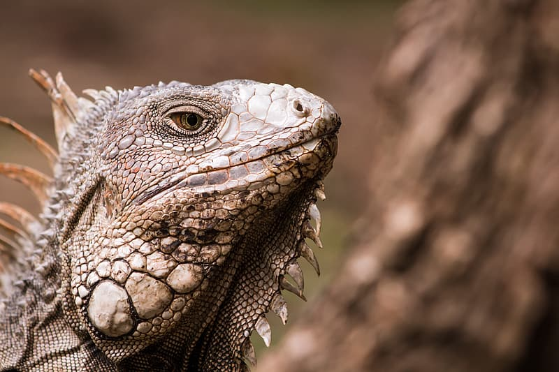 Selective focus photography of brown bearded dragon at daytime