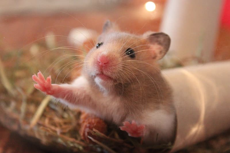 Close up photography of beige and white mouse