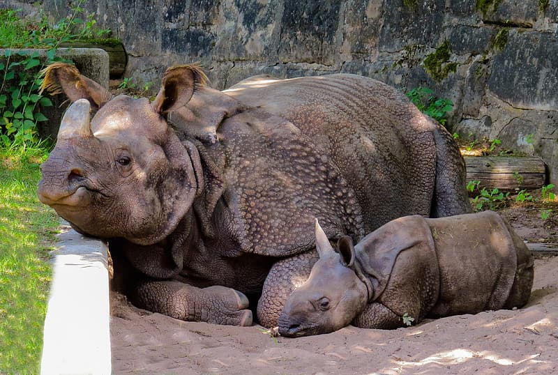 Two adult and young rhinoceros