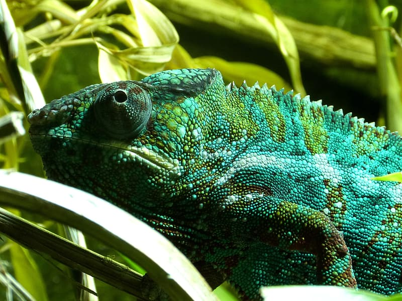 Green and black chameleon on tree branch
