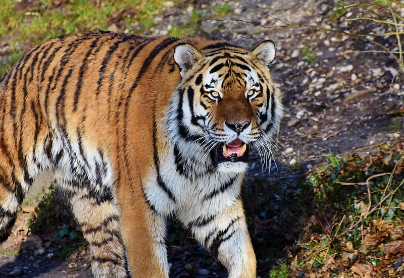 Brown and white tiger