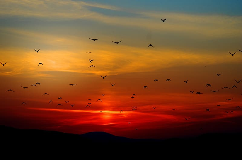 Flock of silhouette of birds flying during sunset