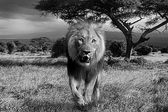Greyscale photo of lion with trees on nackground