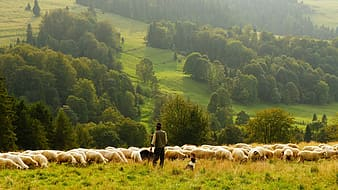 Person standing near herd of sheep