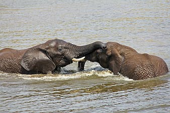 Two elephants in body of water during day