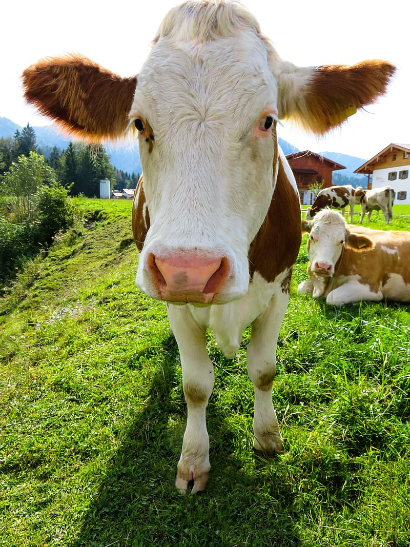 White and brown cow on green grass field during daytime