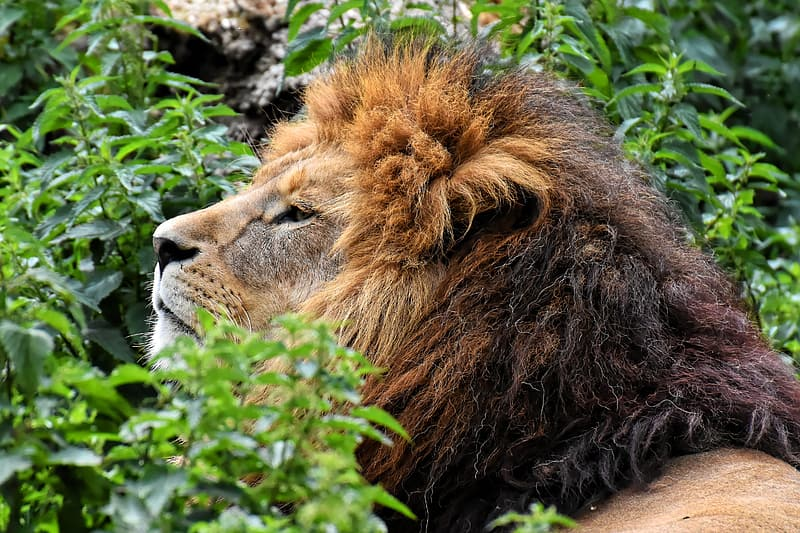 Lion lying on green grass during daytime