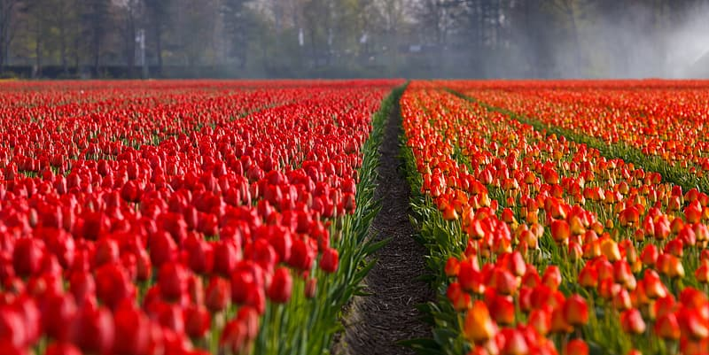 Photography of red and orange tulip flowers at daytime