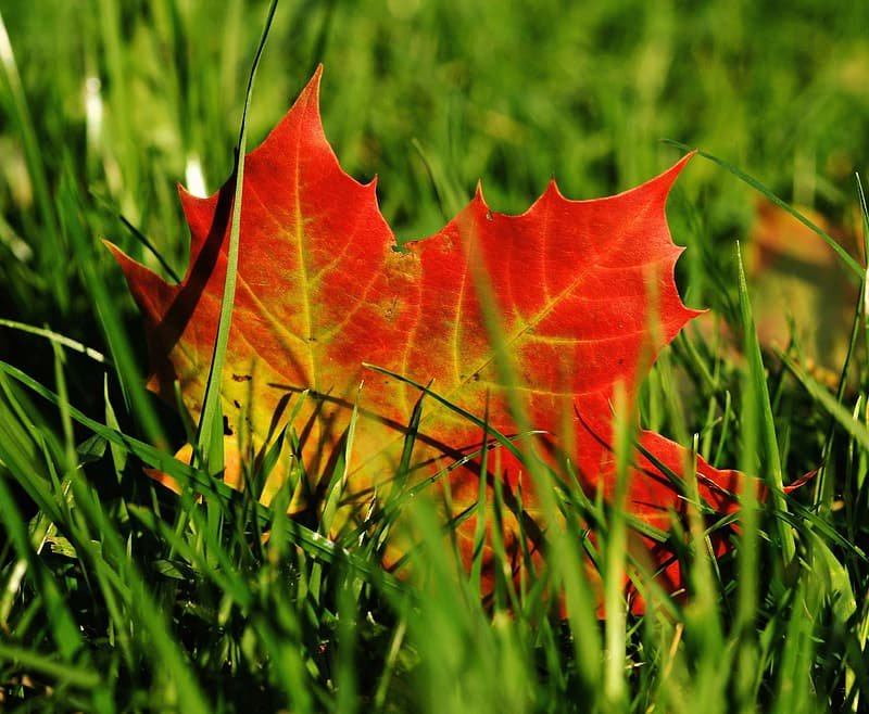 Maple leaf on green grasses