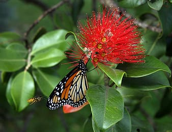 Monarch butterfly perched on red flower