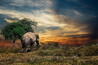 Gray elephant walking on green grass