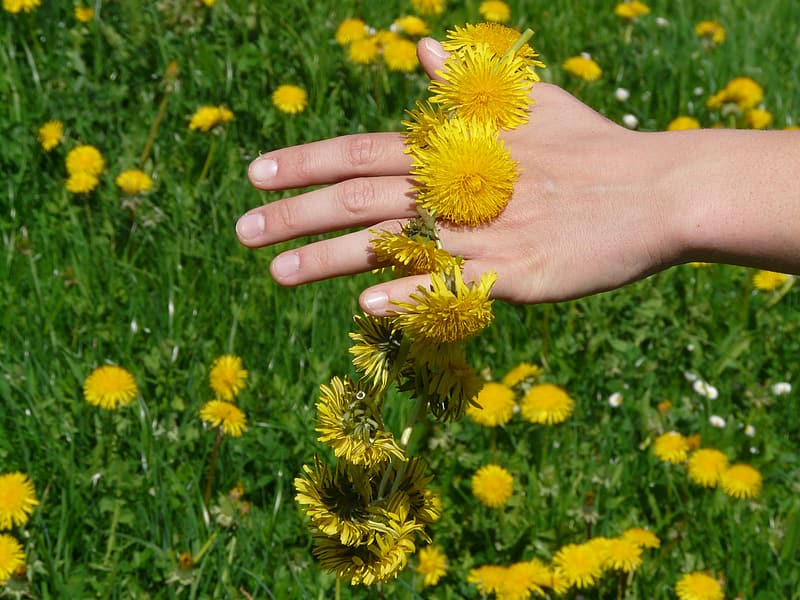 Person touching yellow dandelion field during daytime