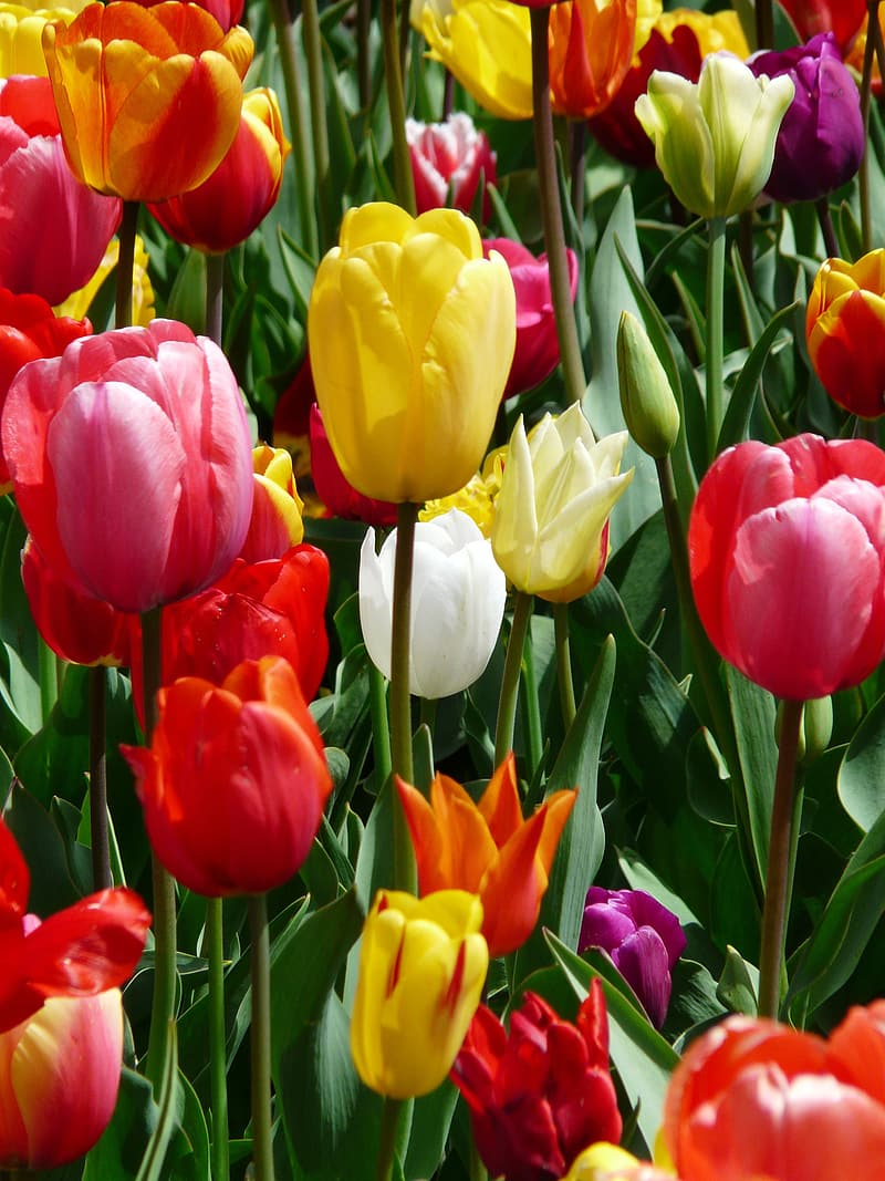 Assorted-color tulips