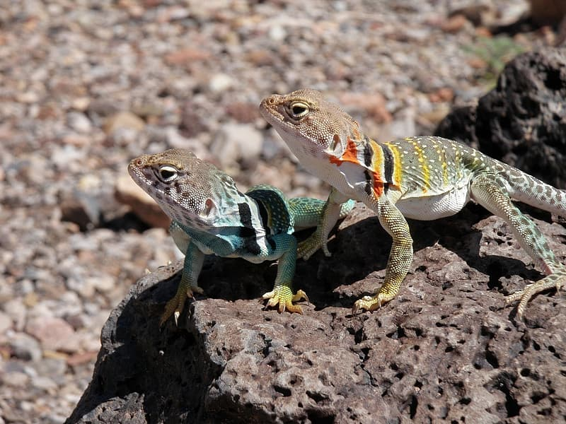 Two geckos on a rock