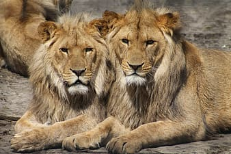 Close up photography of two brown lions