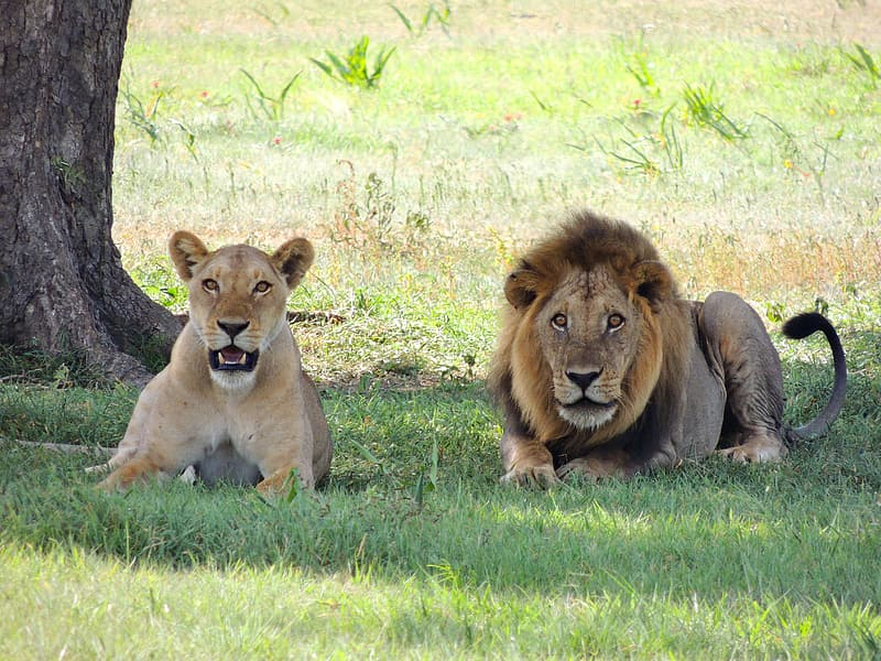 Lion and lioness on ground near the tree