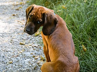 Brown short coated dog on green grass during daytime