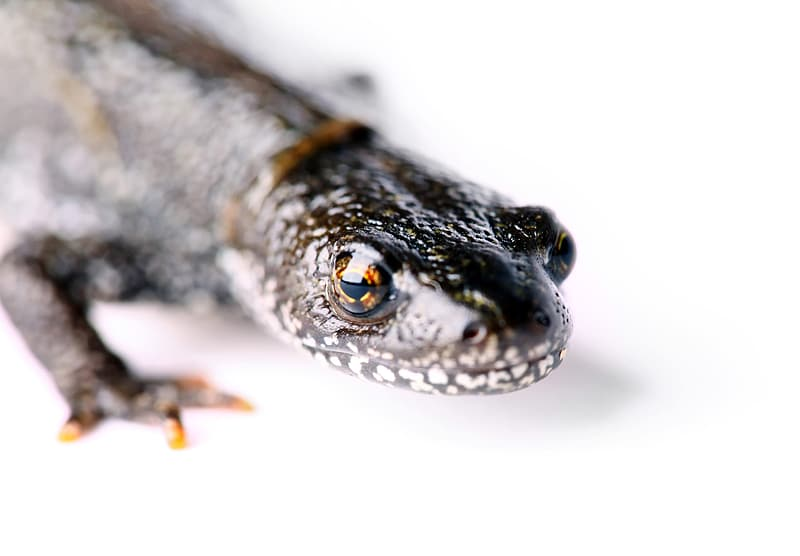 Black and brown lizard on white surface