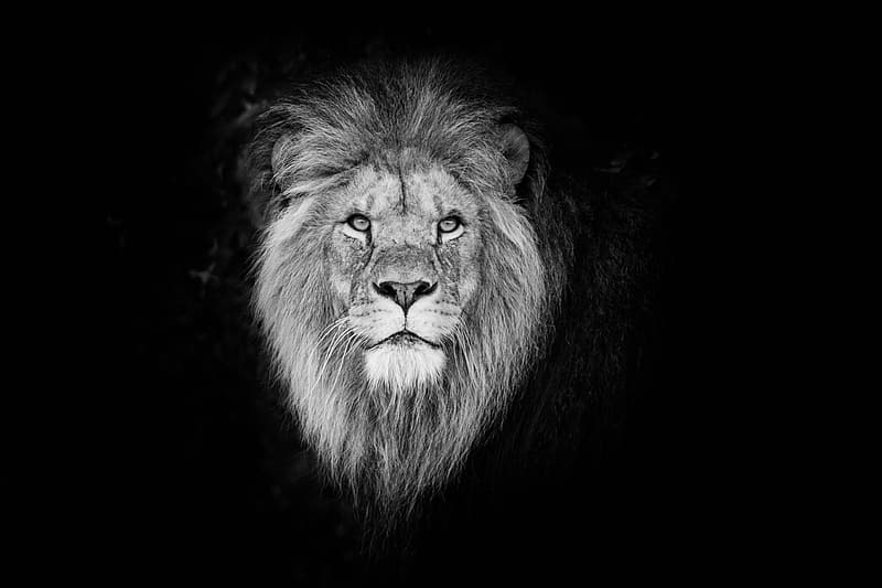 Lions face in black background