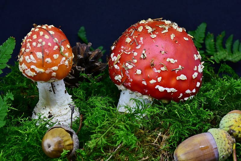 Red and white mushroom on green grass