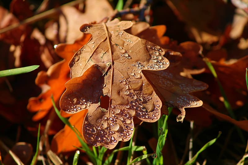 Brown dried leaf with water droplets