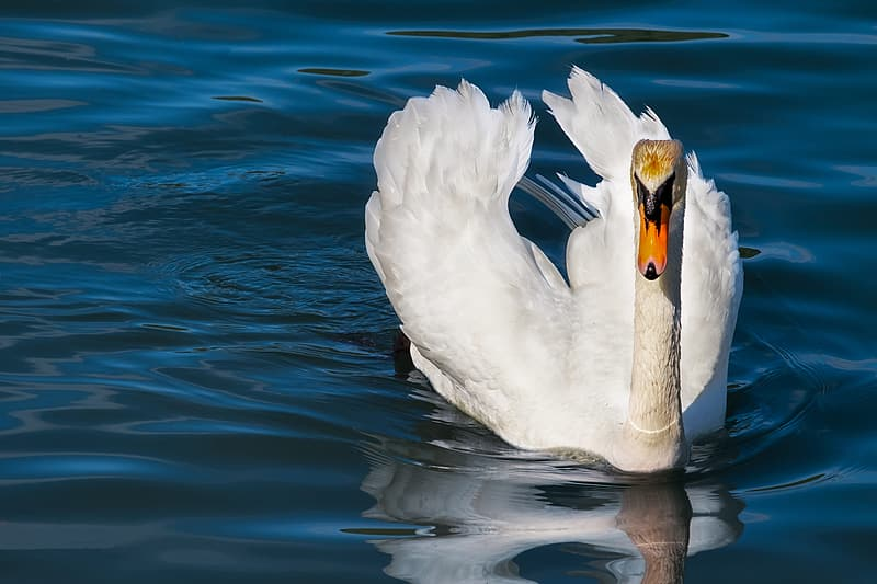 White duck floating on calm water