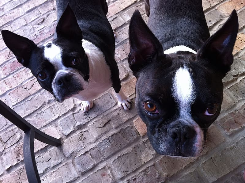 Two adult black-and-white Boston terriers