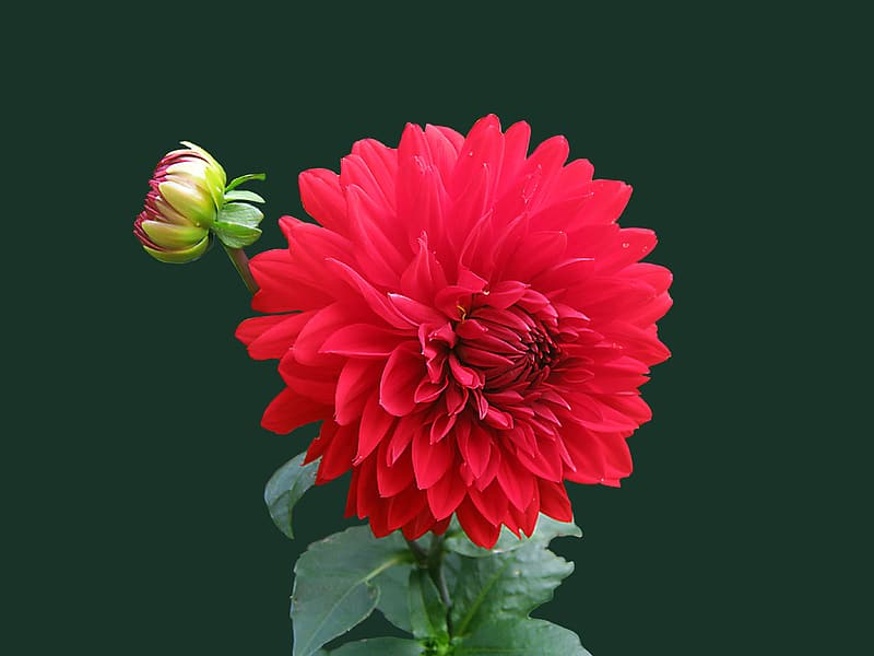Red petaled flower focusphotography