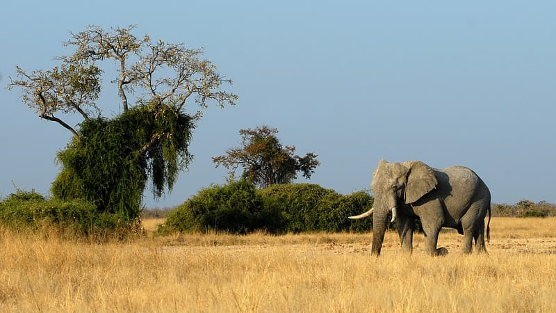 Gray elephant on dry grass during daytime