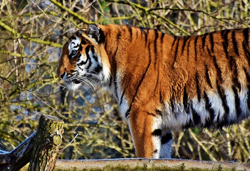 Tiger on brown wooden fence during daytime
