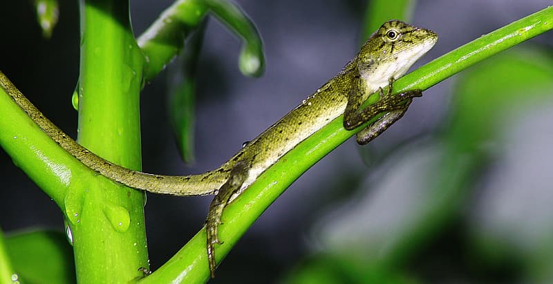 Green and brown lizard on brown stem