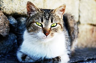 Close-up photo of brown tabby cat