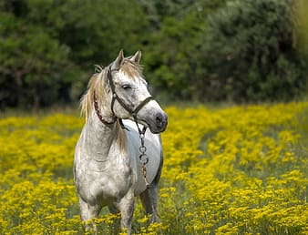 White horse standing in yellow flower field