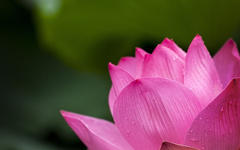 Close-up photography pink lotus flower