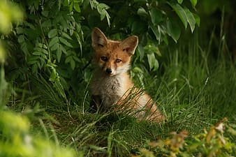Red fox on grass