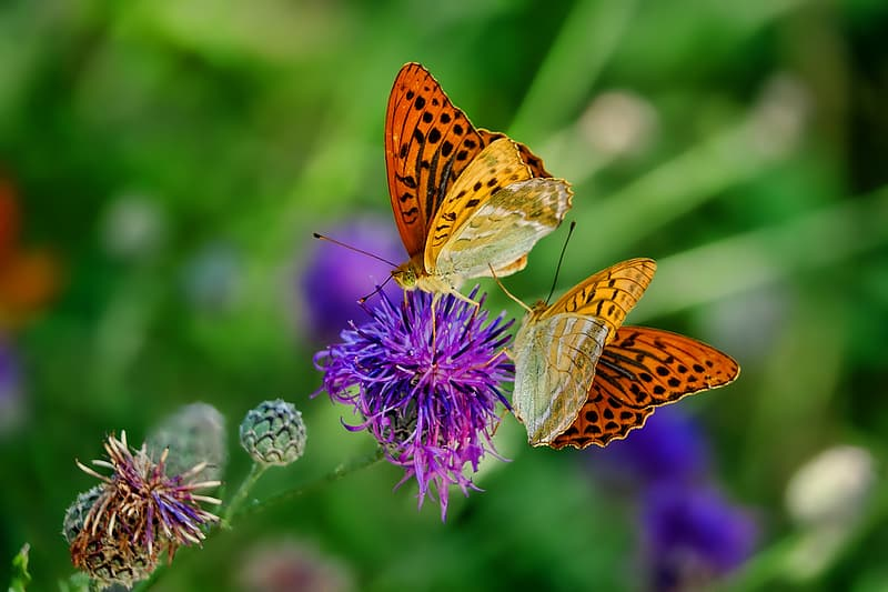 Focus photo of two butterflies on purple clustered flower